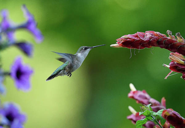 Photograph - Hummingbird Heaven by William Jobes