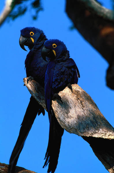 Macaw Photograph - Hyacinth Macaws Anodorhynchus by Art Wolfe