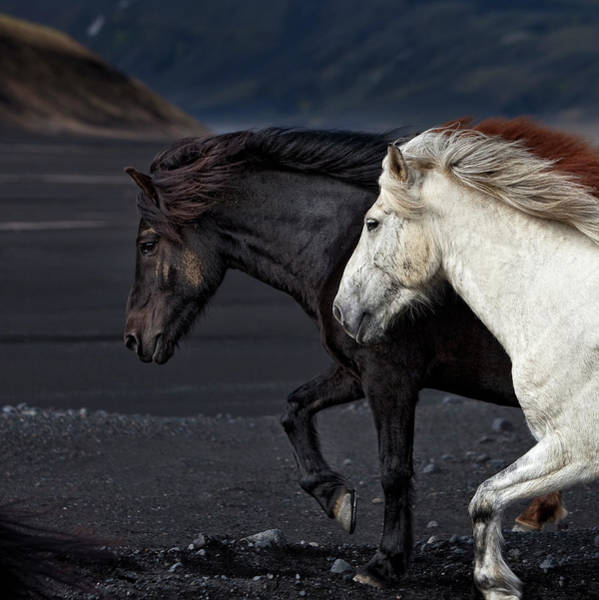 Side View Photograph - Icelandic Horses by Arctic-images