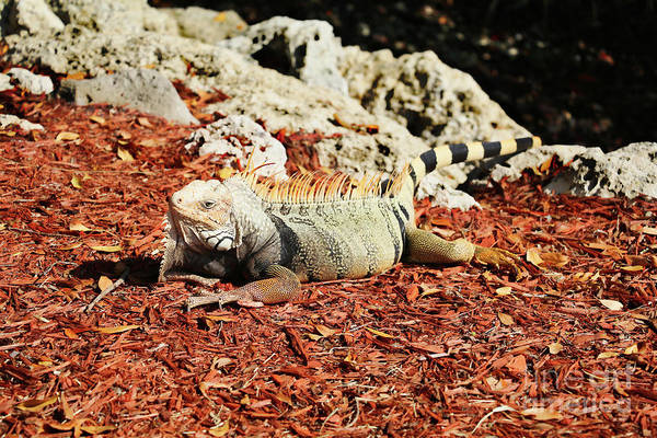 Wall Art - Photograph - Iguana by Kelly Pennington