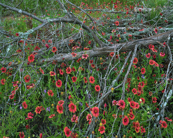 Photograph - Indian Blanket And Dead Juniper Tree by