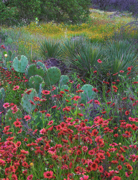Photograph - Indian Blanket Flowers And Opuntia by Tim Fitzharris
