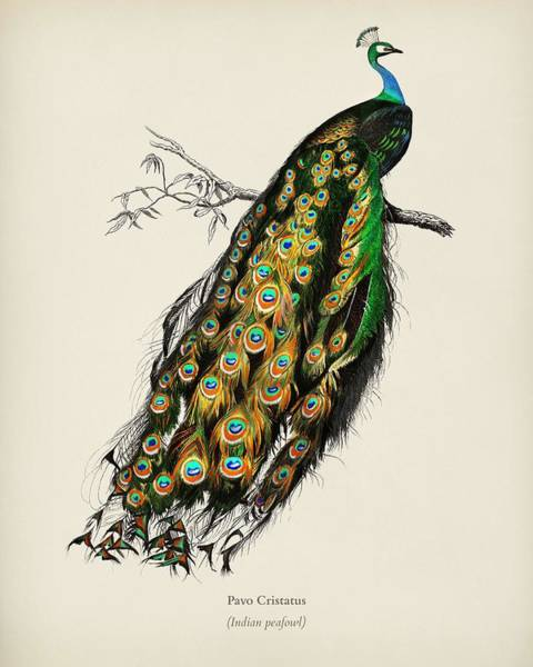 Peafowl Painting - Indian Peafowl  Pavo Cristatus Illustrated By Charles Dessalines D Orbigny  1806 1876 3 by Celestial Images