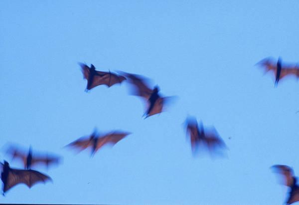 Wall Art - Photograph - Indonesian Short-nosed Fruit Bat by Stuart Westmorland