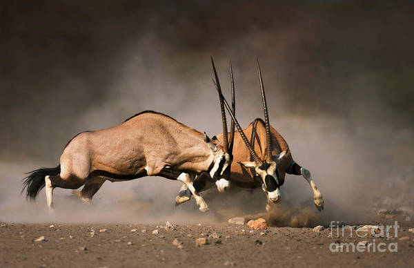 Wall Art - Photograph - Intense Fight Between Two Male Gemsbok by Johan Swanepoel