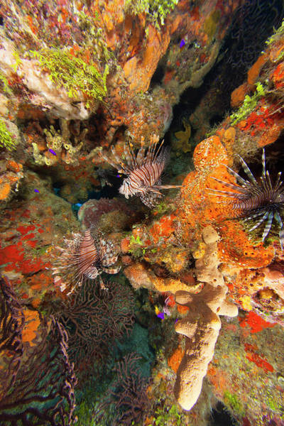 Wall Art - Photograph - Invasive Species, Indo Pacific by Stuart Westmorland