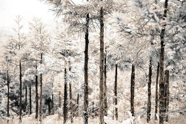 Wall Art - Photograph - Japanese Cedar Woods by Gaspar Avila