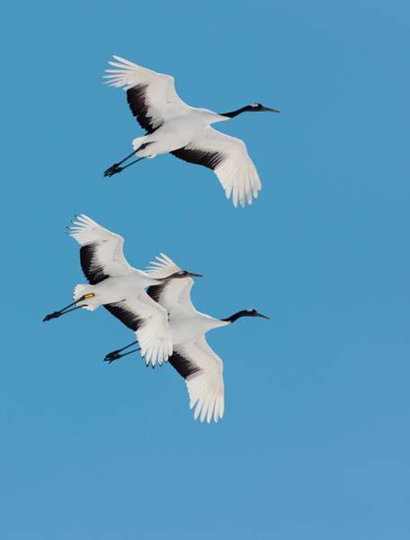 Animal Place Wall Art - Photograph - Japanese Cranes, Hokkaido, Japan by Mint Images/ Art Wolfe