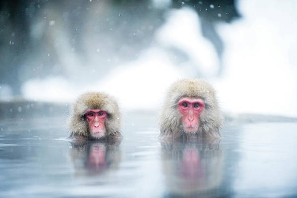 Snow Monkey Photograph - Japanese Macaques by Yusuke Okada/a.collectionrf