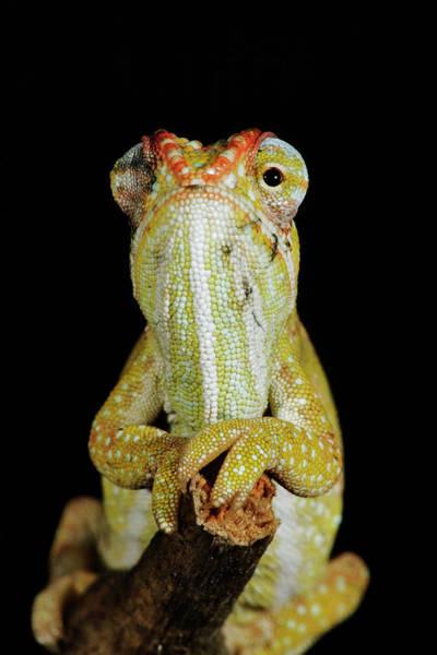 Scale Photograph - Jewelled Chameleon Furcifer Campani by Martin Harvey