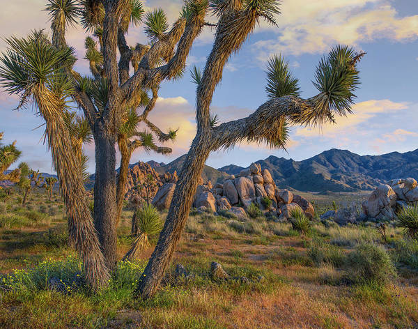 Wall Art - Photograph - Joshua Tree, Joshua Tree National Park by Tim Fitzharris