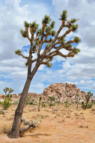 Photograph - Joshua Tree Wilderness by Kyle Hanson