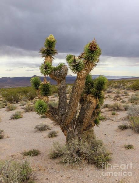 Yucca Palm Photograph - Joshua Tree by Robert Bales