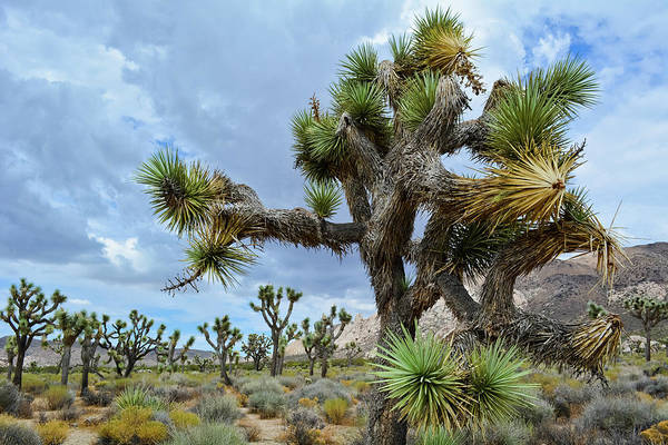 Photograph - Joshua Tree Forest by Kyle Hanson