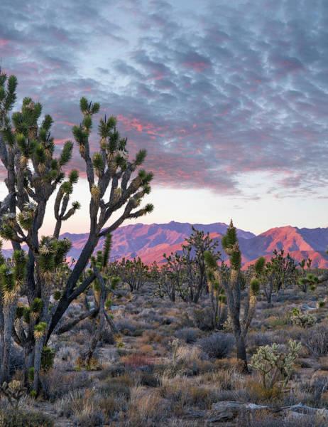 Photograph - Joshua Trees And Little San Bernardino by