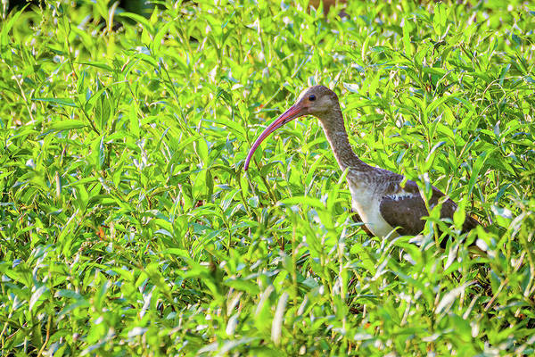 Photograph - Juvenile American White Ibis Hato Berlin Casanare Colombia by Adam Rainoff