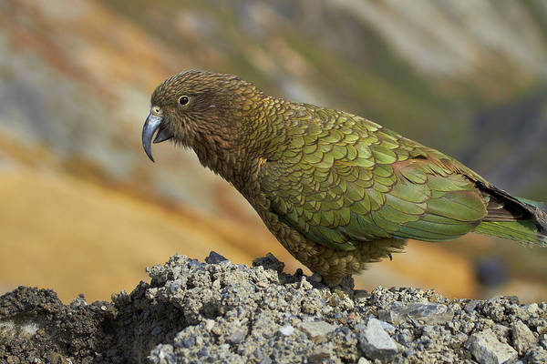 Wall Art - Photograph - Kea, Mount Hutt, Canterbury, South by David Wall