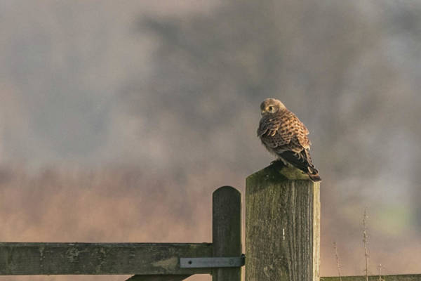 Photograph - Kestrel by Wendy Cooper