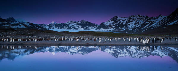 Wall Art - Photograph - King Penguins In A Breeding Colony by Mint Images - Art Wolfe