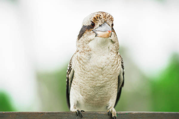 Photograph - Kookaburra Gracefully Resting During The Day. by Rob D Imagery