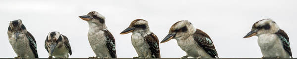 Photograph - Kookaburras Gracefully Resting During The Day. by Rob D Imagery