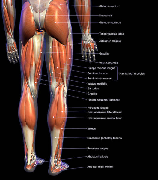 Photograph - Labeled Anatomy Chart Of Male Leg by Hank Grebe
