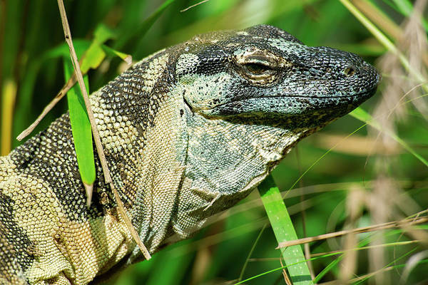 Photograph - Lace Monitor During The Day. by Rob D Imagery