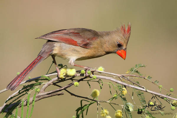 Photograph - Lady Cardinal by David Cutts