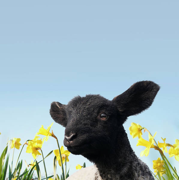 Black Sheep Photograph - Lamb Walking In Field Of Flowers by Peter Mason
