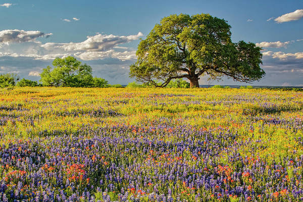 Wall Art - Photograph - Large Oak Tree In Expansive Meadow by Adam Jones