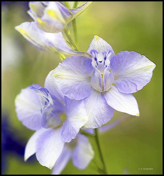 Photograph - Larkspur Flowers by A Gurmankin