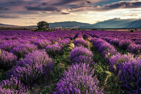 Wall Art - Photograph - Lavender Dreams by Evgeni Dinev