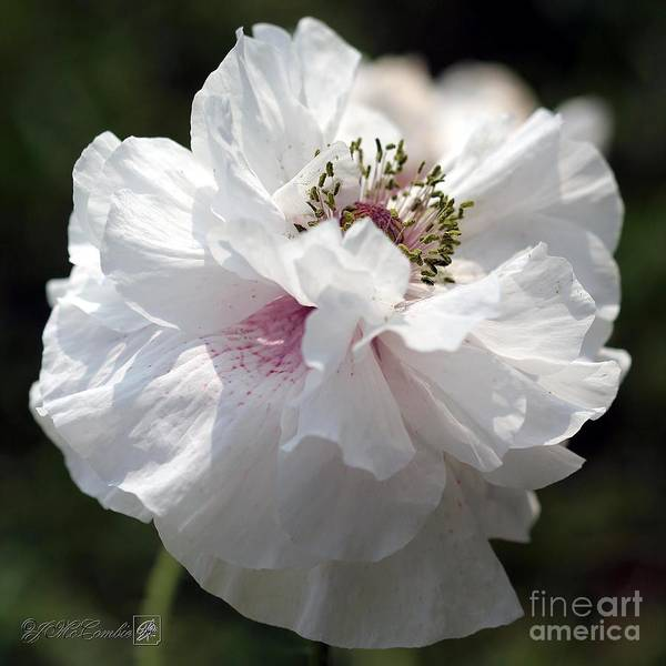 Wall Art - Photograph - Lavender-rose Blushed White Poppy From The Angel's Choir Mix by J McCombie