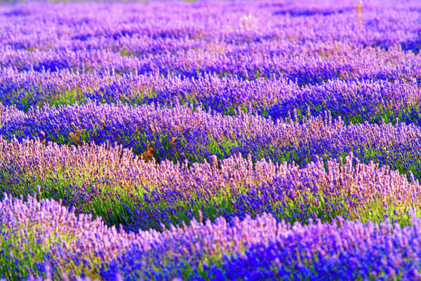 Wall Art - Photograph - Lavender by Visions Of Our Land