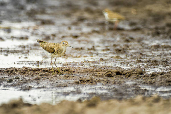 Photograph - Least Sandpiper Guanapalo Casanare Colombia by Adam Rainoff