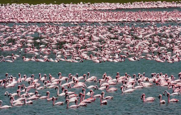 Photograph - Lesser Flamingos, Lake Narasha, Kenya by Mint Images/ Art Wolfe