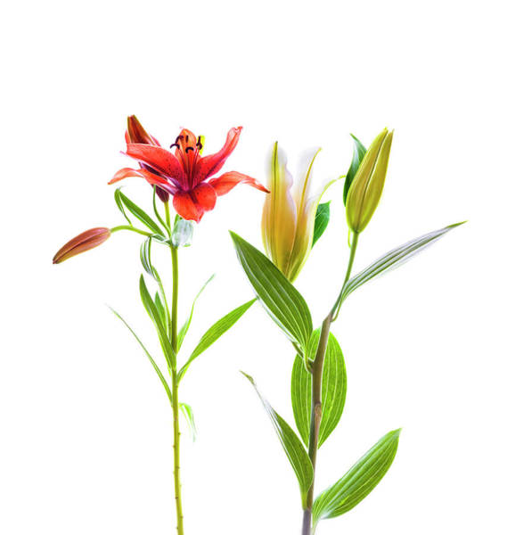 Wall Art - Photograph - Lilies Against White Background by Panoramic Images