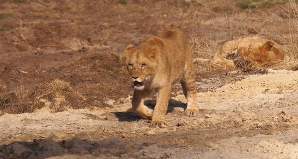 Wall Art - Photograph - Lion Cub Walking In Sand by Eye to Eye Xperience