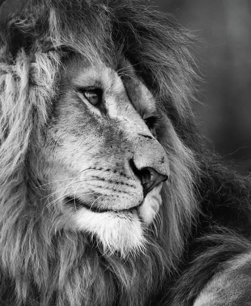 Photograph - Lion by Tazi Brown
