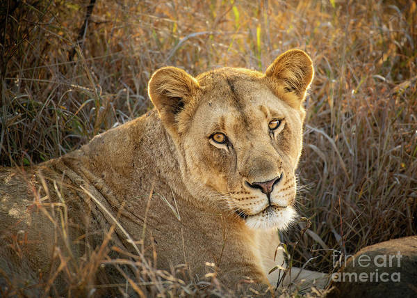 Wall Art - Photograph - Lioness In South Africa by Jamie Pham