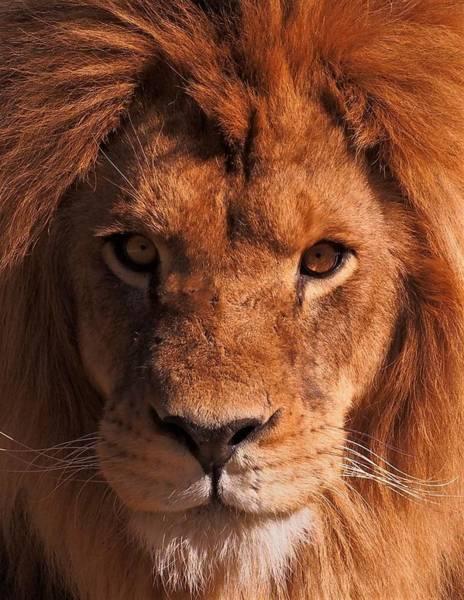 Photograph - Lion,lion by Eye to Eye Xperience