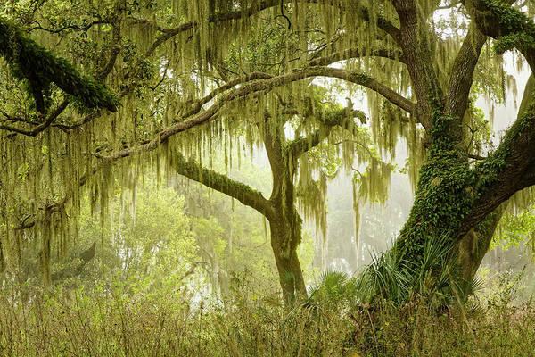 Wall Art - Photograph - Live Oaks Draped In Spanish Moss by Adam Jones