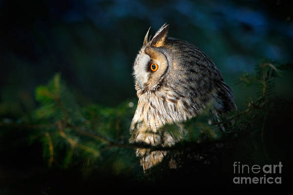 Wall Art - Photograph - Long-eared Owl Sitting On The Branch In by Ondrej Prosicky
