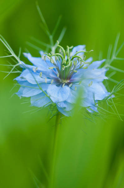 Wall Art - Photograph - Love-in-a-mist by Michael Lustbader
