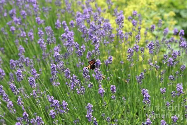 Photograph - Lovely Lavender by Carol Groenen