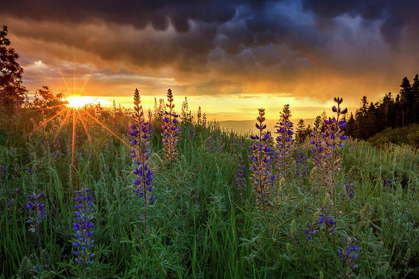 Wall Art - Photograph - Lupine Sunrise by Johnny Adolphson