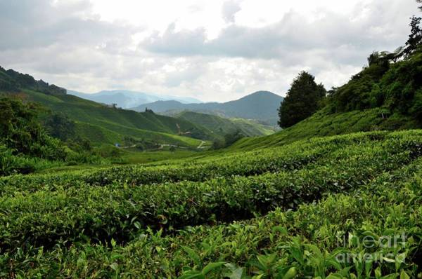 Photograph - Lush Rolling Green Fields Of Tea On Hills In Tropical Resort Cameron Highlands Malaysia by Imran Ahmed