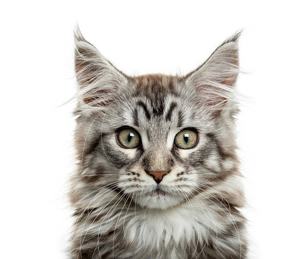 Maine Coon Kitten In Front Of White Art Print