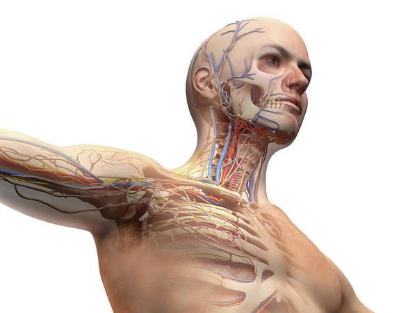 Photograph - Male Anatomy With Ghost Effect by Leonello Calvetti