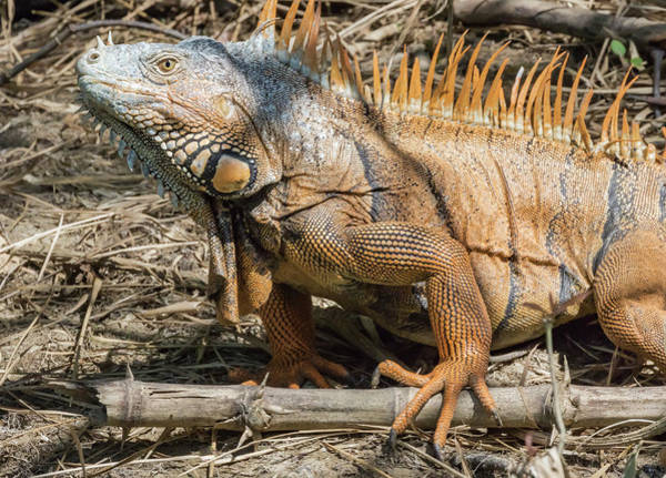 Belize Photograph - Male Green Iguana, In Breeding Plumage by William Sutton